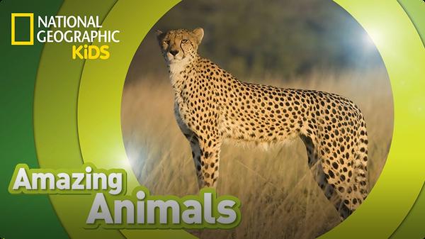 Amazing Animals: Cheetah