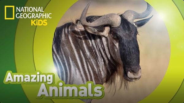 Amazing Animals: Wildebeest