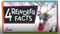 SciShow Kids: 4 Facts to Know About Reindeer