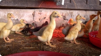 New Home for the Ducklings | Farm Raised With P. Allen Smith