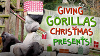 Giving Gorillas Christmas Presents!