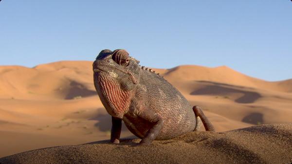 Namaqua Chameleons Warm Up in the Heat