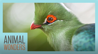 Turacos! Little Known Wonders
