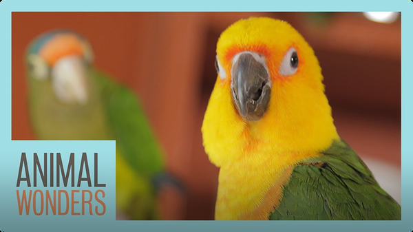 Meet And Greet: Ecuador the Jenday Conure