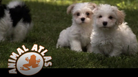 Animal Atlas: Havanese