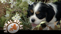 Animal Atlas: Cavalier King Charles Spaniel