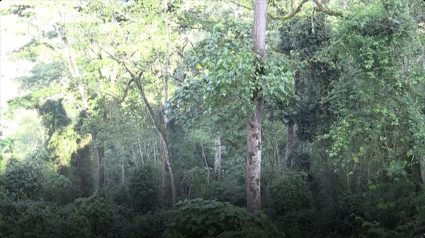 My Wild Walk through a Ugandan Chimp Forest