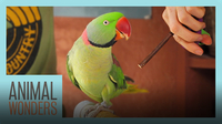 Training Our Alexandrine Parakeet