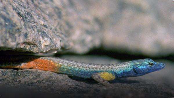 Spy In The Wild: Flat Lizards