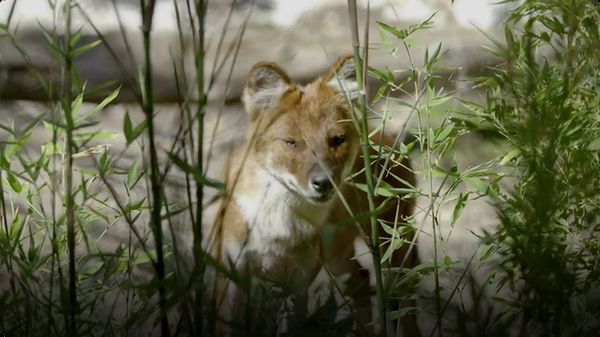 Get to Know the Amazing and Beautiful Endangered Wild Dog Known as a Dhole