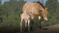 Przewalski's Horse Foals Born at San Diego Zoo
