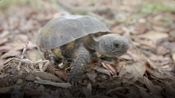 Why So Many Other Animals Depend on this Specific Tortoise