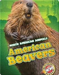 North American Animals: American Beavers
