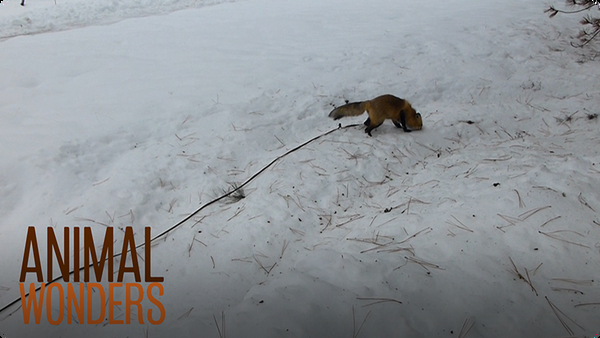 Fox Walk With a GoPro