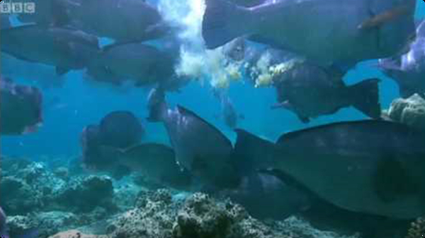 Feeding humphead parrotfish - Blue Planet: A Natural History of the Oceans