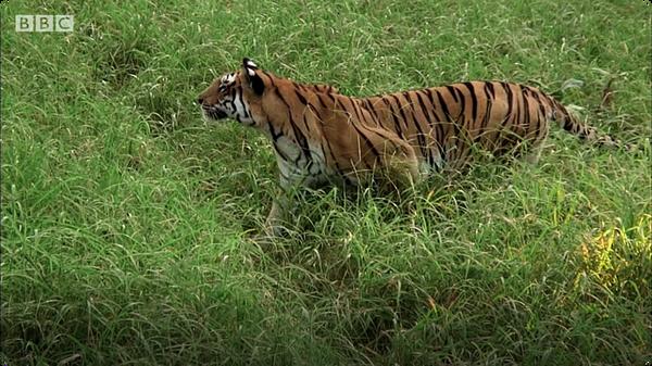 Tiger Cub's First Kill (Tiger - Spy in the Jungle)