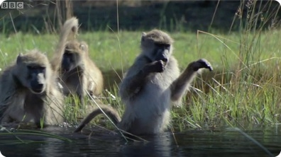 Monkeys Wading Through Water - BBC Planet Earth