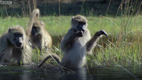Monkeys Wading Through Water - BBC Planet Earth