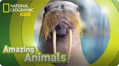 Amazing Animals: Walrus