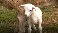 A New Lamb in the Family | Farm Raised With P. Allen Smith
