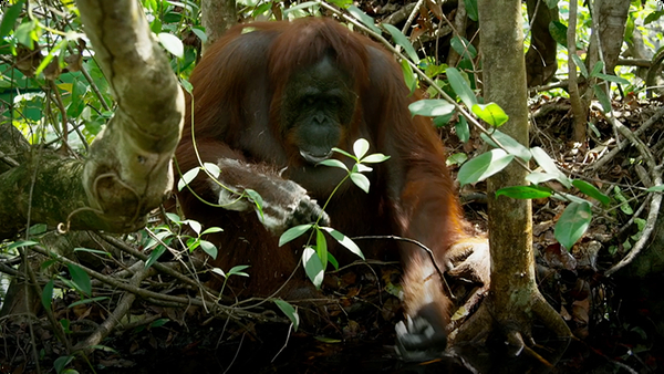 Wild Orangutans Inherited Understanding for Using Soap