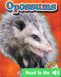 Opossums: Backyard Wildlife