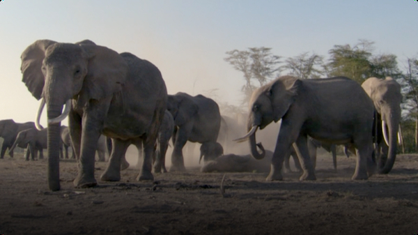 BBC Life: Elephants