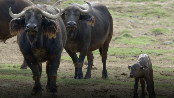 Here Are Some Surprising Facts About the Cape Buffalo
