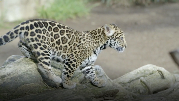 Rambunctious Jaguar Cub Plays with Mom at San Diego Zoo