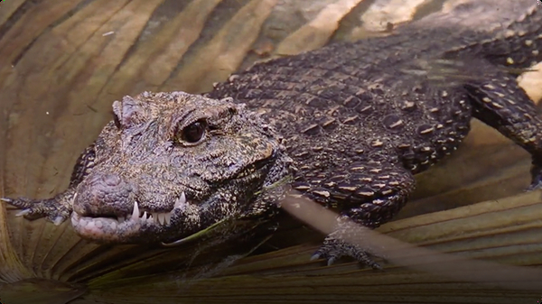 These Dwarf Crocodiles May Look Bite-Sized, But They Definitely BITE