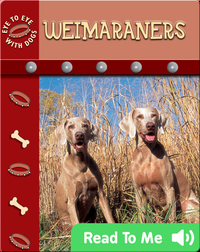 Eye To Eye With Dogs: Weimaraners