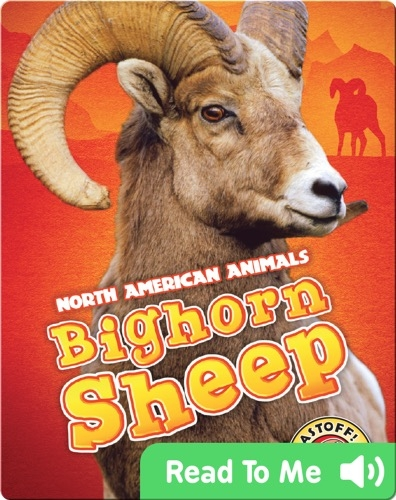 North American Animals: Bighorn Sheep