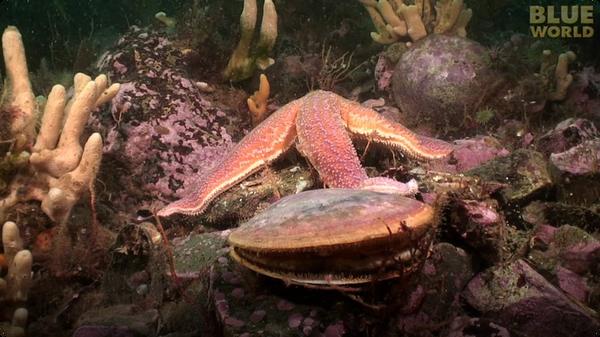 Starfish Attacks A Scallop!