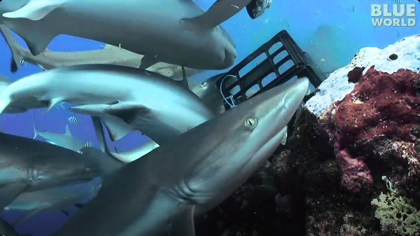 Diver in the middle of shark feeding frenzy!