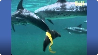 Dolphins play keep away with snorkelers!