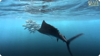 Sailfish attacking Bait Ball!