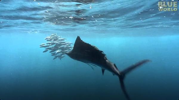 Sailfish attacking Bait Ball!