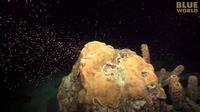 Incredible coral spawning footage!