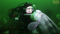 Diver meets huge Pacific Wolf Eel