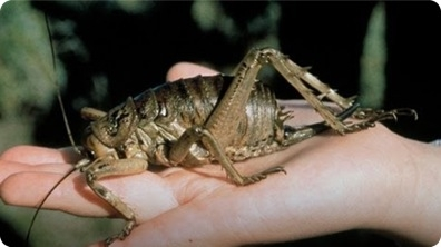Dinosaur Insect - Giant Weta