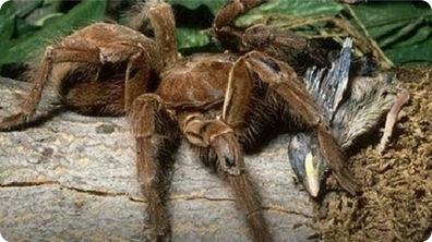 Giant Spider Eating Bird