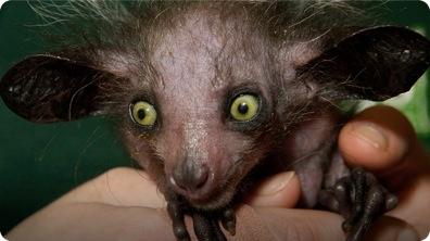 World's Creepiest Animal - The Aye Aye