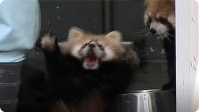 Red Baby Panda Surprise!