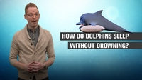 How Do Dolphins Sleep Without Drowning?