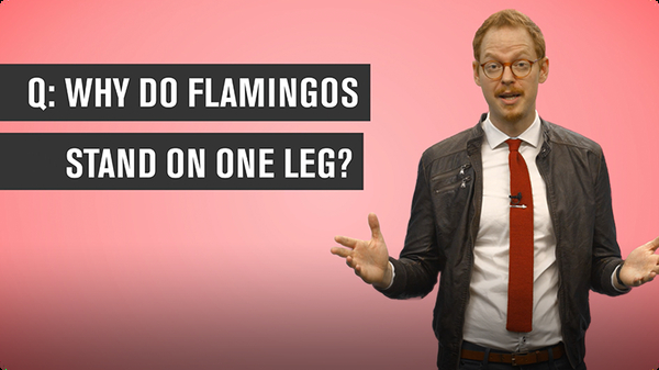 Why Do Flamingos Stand on One Leg?