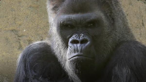 Did You Know: Gorillas