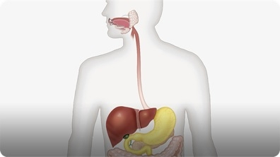 Did You Know: Digestive System