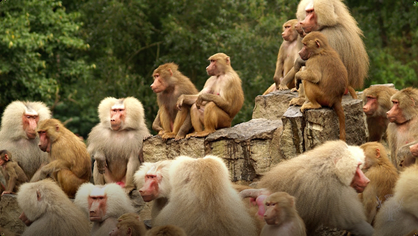 Did You Know: Baboons