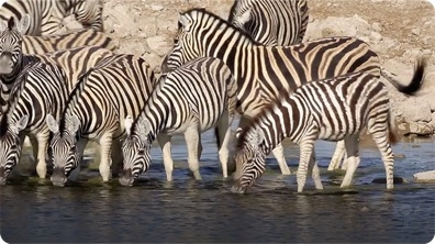 Did You Know: Zebras