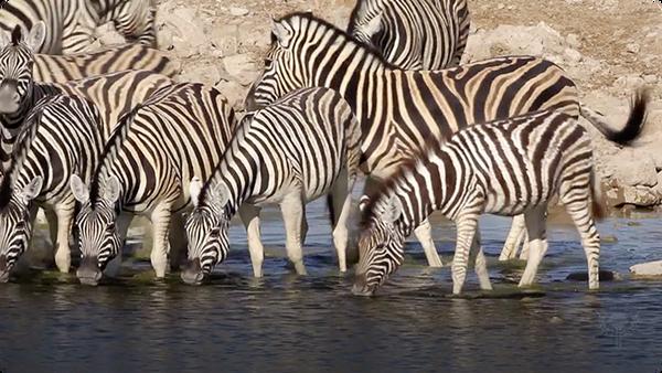 Did You Know: Zebras
